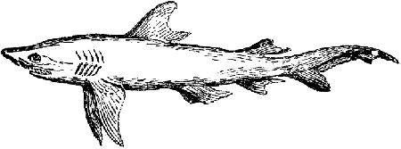 Alissian Shark