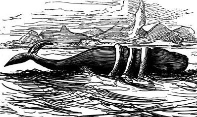alissian whale